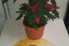 planta_indivicual_pascua