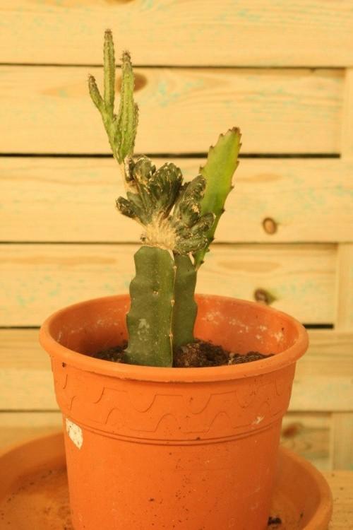 Cactus alargado
