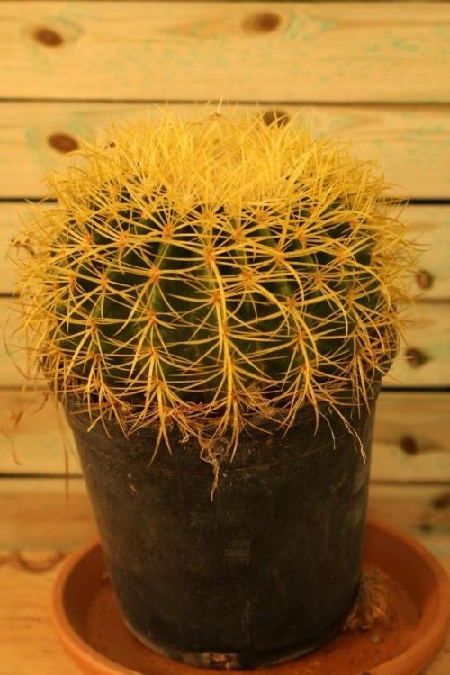 Cactus espinas amarillas gruesas