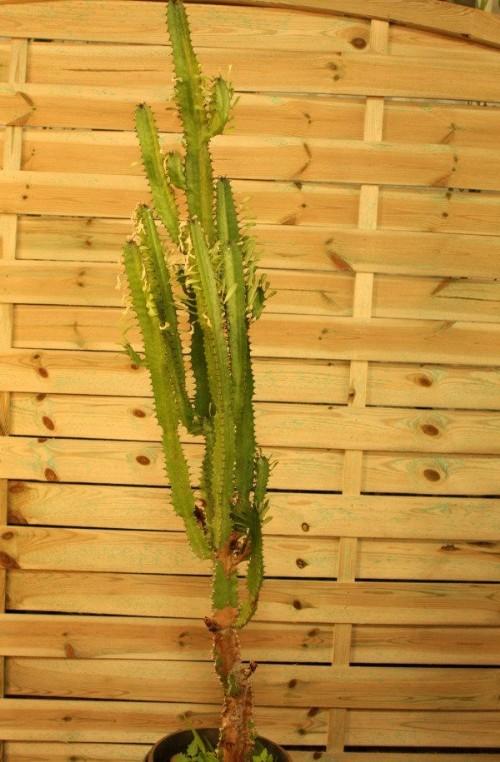 Euphorbia Trigona (Árbol africano de leche)