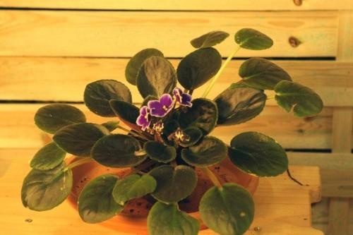 Violeta africana (Saint Paulia)