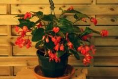 Begonia de colgar