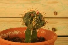 Cactus forma hongo