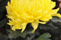 Chrysanthemum (Crisantemo) M12