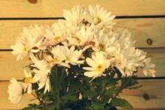 Chrysanthemum (Crisantemo)