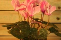 Ciclamen (violeta persa)