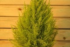 Ciprés Gold Crest (Cupressus)