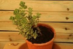 Crassula (Suculenta)