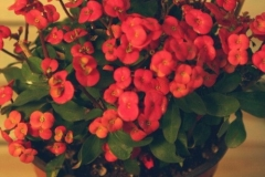 Euphorbia Milii (Espina de Cristo)