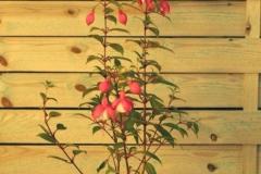 Fuchsia (Pendientes de la Reina)