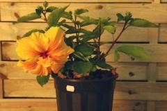 Hibiscus (Flor del Beso)