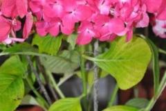 Hortensia o Flor de Mundo