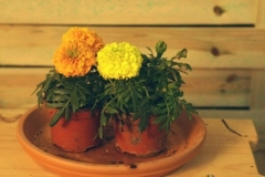 Tagetes (Clavel chino, Clavel de moro)
